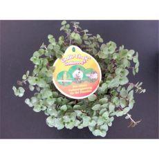 Golliwoog® - Der Vitamin und Mineralstofflieferant - 1 Pflanze