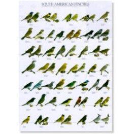 Poster Süd Amerikanische Finken