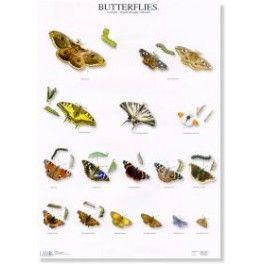 Poster Schmetterlinge 1