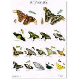 Poster Schmetterlinge 3