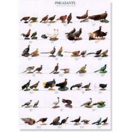 Poster Fasane 2