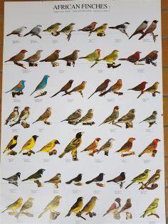 Poster afrikanische Finken 2