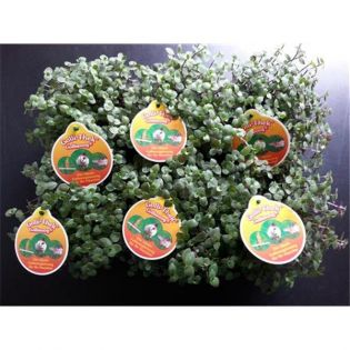 Golliwoog® - Der Vitamin und Mineralstofflieferant - 6 Pflanzen